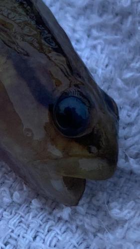シモフリシマハゼの釣果