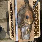 大津港のアジフライの釣果
