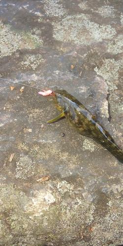 ヨシノボリの釣果