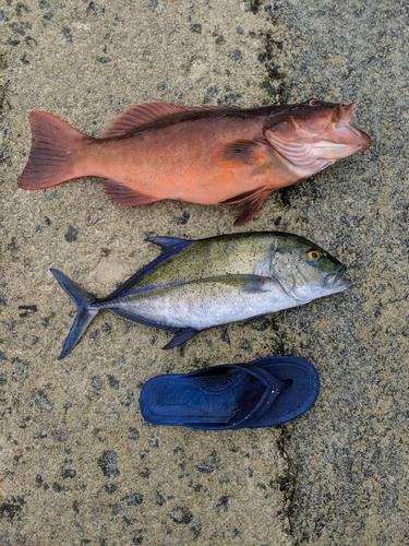 カスミアジの釣果