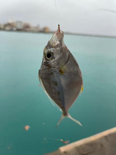 シマヒイラギの釣果