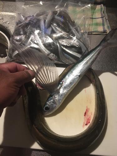 トビウオの釣果