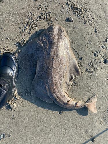 カスザメの釣果
