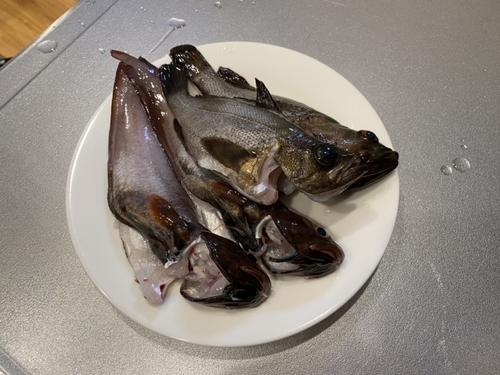 ムラソイの釣果