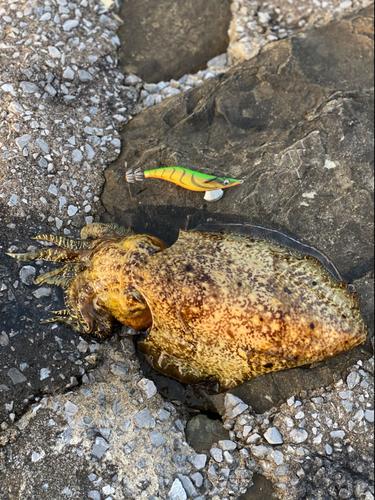 コブシメの釣果