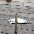 ヴェゼル サトウの釣果
