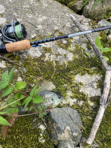 ブルーギルの釣果