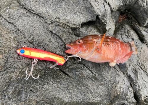 アカササノハベラの釣果
