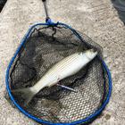 SASfishの釣果