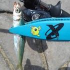 FLY-MANTAの釣果