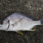 カサゴが釣りたいの釣果