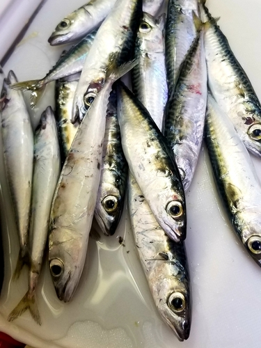 サバの釣果