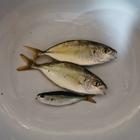 アオスジアゲハの釣果