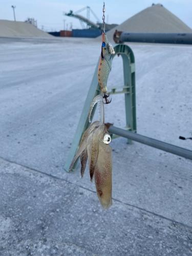 マメイカの釣果