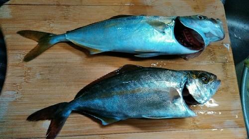 シロギスの釣果