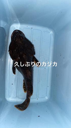 カジカの釣果