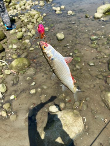 メナダの釣果