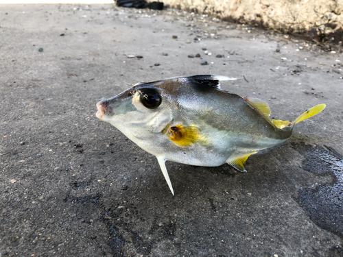 ギマの釣果