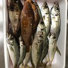 イカ美味しいの釣果