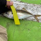 魚喰いの釣果