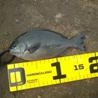 フカセ釣り師の釣果