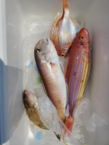 シロアマダイの釣果