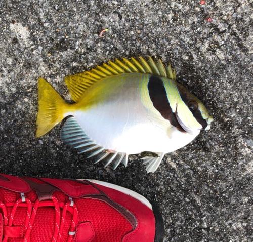ヒメアイゴの釣果