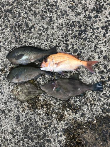 ウマヅラハギの釣果