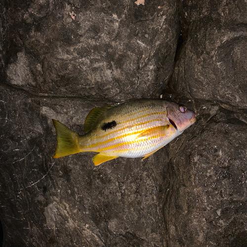 ニセクロホシフエダイの釣果