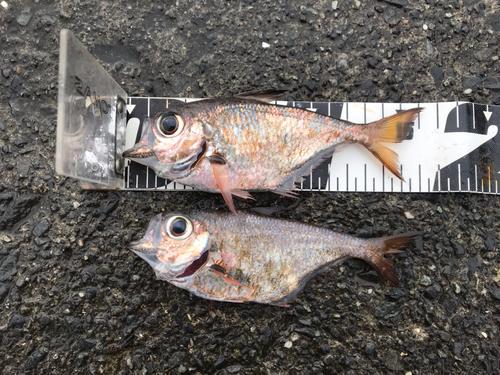 ミナミハタンポの釣果