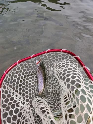 レインボートラウトの釣果