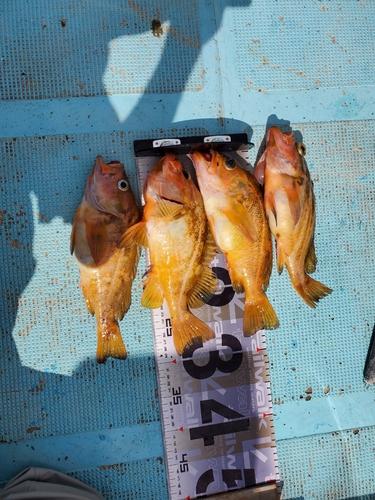 ヤナギノマイの釣果