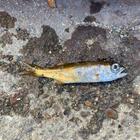 白身魚は食べない猫の釣果