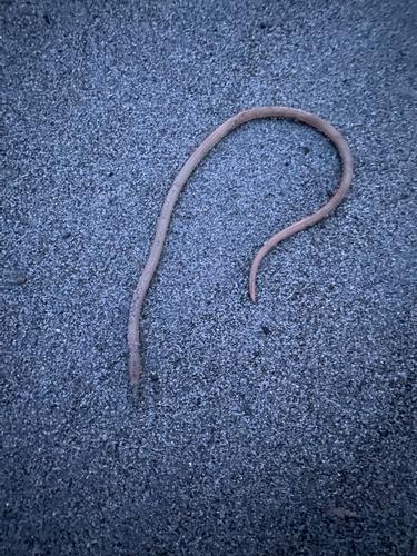 ダイナンウミヘビの釣果