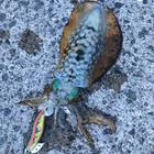シモノクニダイキの釣果