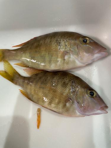 ヨコシマフエフキの釣果