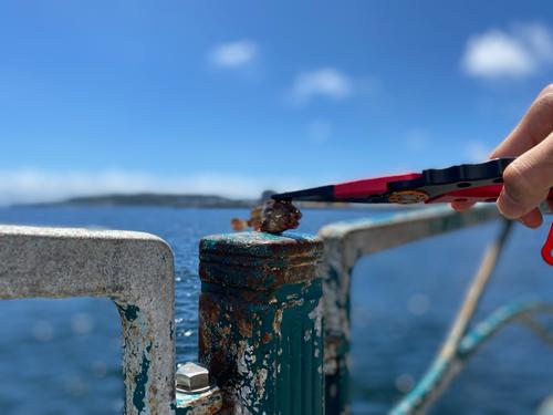 イソカサゴの釣果