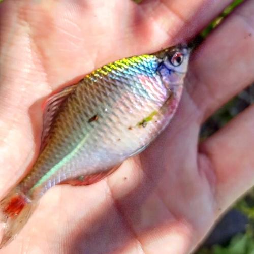 タイリクバラタナゴの釣果