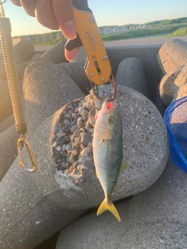 ワカシの釣果