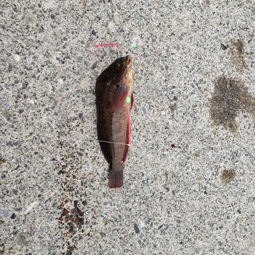 ハゴトコの釣果