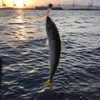シロナの釣果