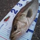 堤防ショアジギンガーの釣果