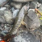 アングラーラオウの釣果