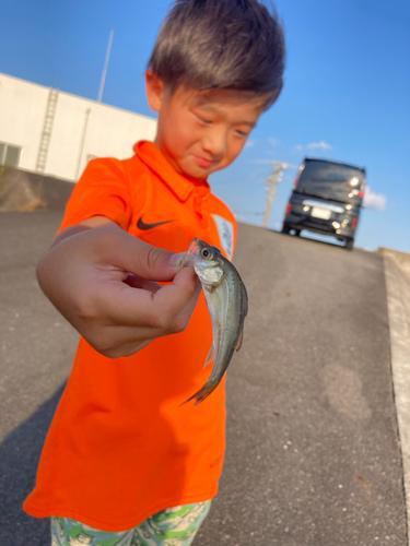 セイゴ(タイリクスズキ)の釣果