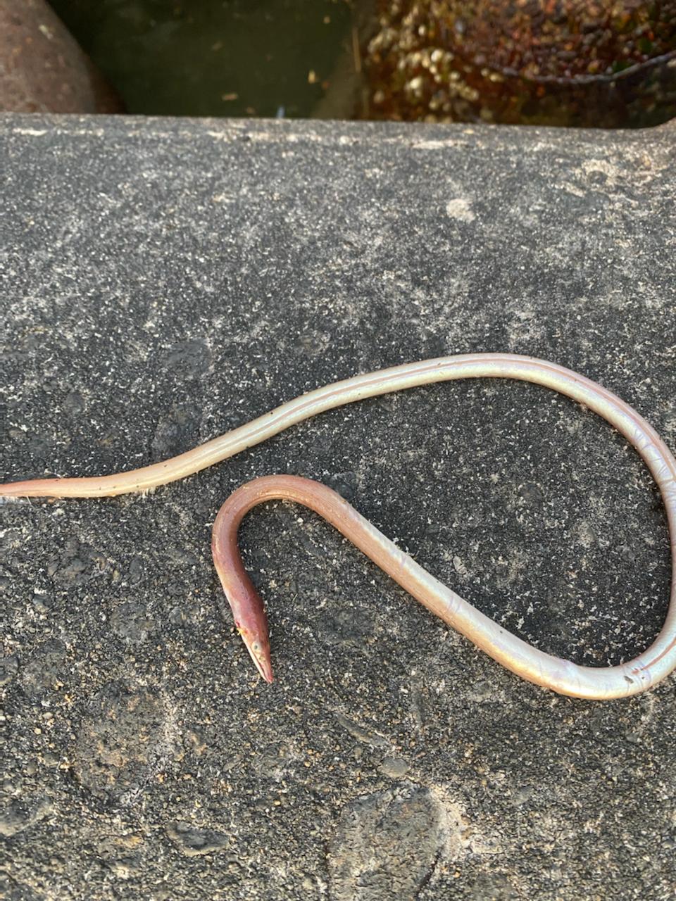 ダイナンウミヘビ