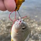 フラットジャムの釣果