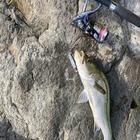 マズメ太郎の釣果