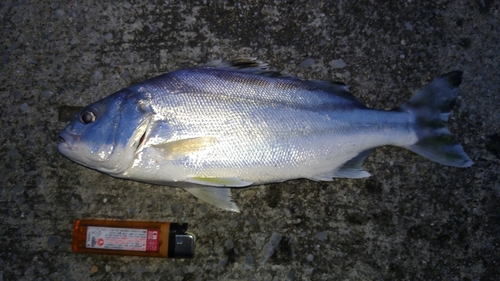 コトヒキの釣果