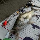 釣りバカ社長の釣果