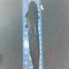 slider鯰人の釣果